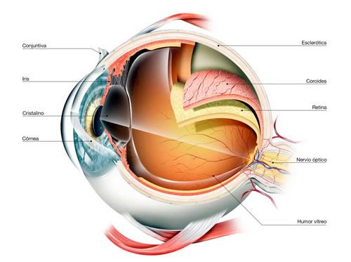 Anatomia del ojo - Opticas Moneda Rotter